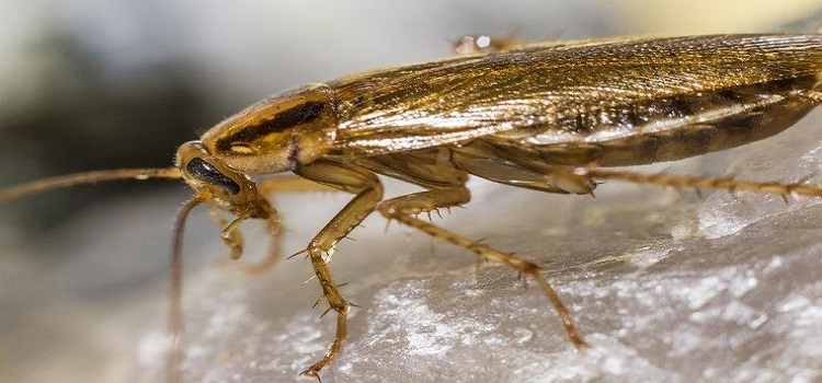 Cockroach Control Ringwood